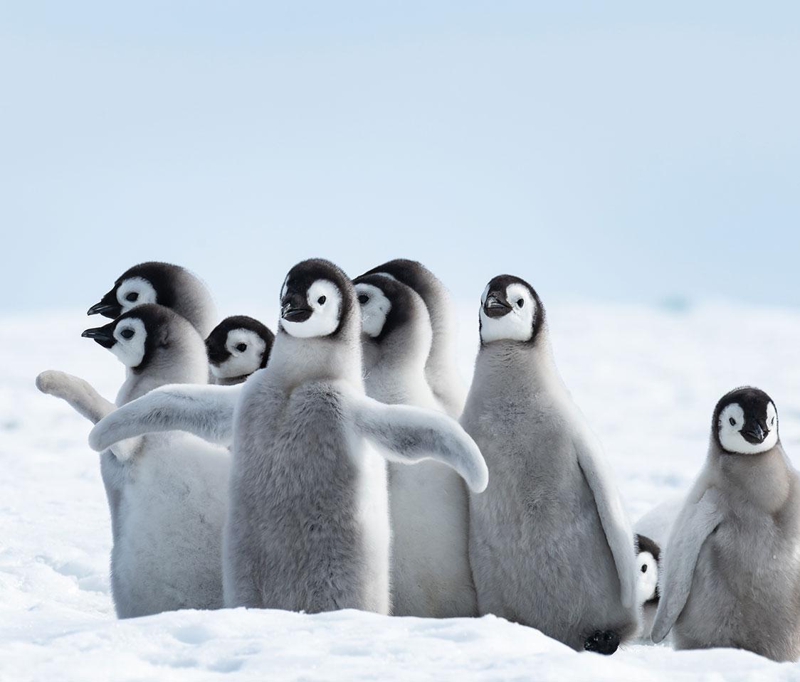 Genesis Cold Penguin